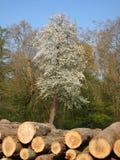 Árbol de abeto con los registros de madera Imagen de archivo