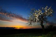 Árbol de almendra en la puesta del sol Fotos de archivo libres de regalías