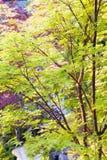 Árbol de arce de la corteza del coral rojo Foto de archivo libre de regalías