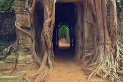 Árbol de Banyan sobre la puerta del som de TA. Angkor Wat Foto de archivo
