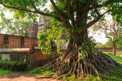 Árbol de Bodhi Fotografía de archivo