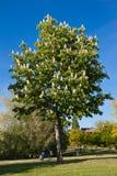 Árbol de castaña Fotografía de archivo