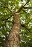Árbol de ceniza alto Fotografía de archivo