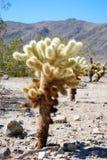 Árbol de Cholla Imagen de archivo libre de regalías