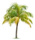 Árbol de coco Imagenes de archivo