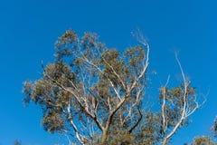 Árbol de eucalipto con el cielo azul Fotografía de archivo