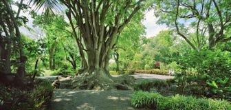 Árbol de goma gigante Imagen de archivo libre de regalías
