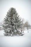 Árbol de hoja perenne en nieve Imagen de archivo libre de regalías