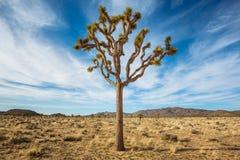 Árbol de Joshua en el desierto Imágenes de archivo libres de regalías
