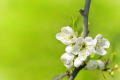 Árbol de la flor Fotos de archivo libres de regalías