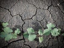 Árbol de la hiedra en fondo seco y de la grieta del suelo Foto de archivo libre de regalías