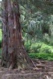 Árbol de la secoya Imagenes de archivo