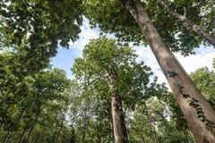 Árbol de la teca Foto de archivo