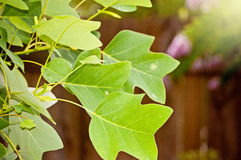 Árbol de álamo Fotos de archivo