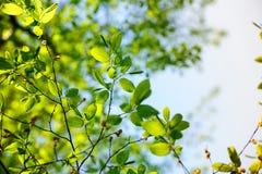 Árbol de álamo en psring Foto de archivo libre de regalías