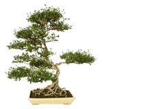 Árbol de los bonsais aislado en blanco Fotos de archivo libres de regalías
