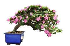 Árbol de los bonsais de la azalea Imágenes de archivo libres de regalías