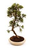 Árbol de los bonsais en un pote Foto de archivo