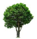 Árbol de mango Imagen de archivo libre de regalías