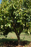 Árbol de mango Foto de archivo