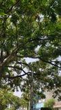 Árbol de mango Fotos de archivo