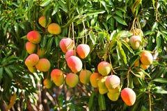 Árbol de mango Foto de archivo libre de regalías