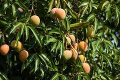 Árbol de mango en Malawi, África Imagenes de archivo
