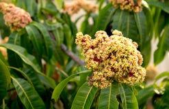 Árbol de mango floreciente amarillo y rojo con las hojas verdes Fotos de archivo
