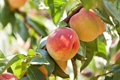 Árbol de melocotón con las frutas Foto de archivo libre de regalías
