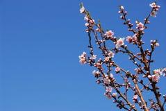 Árbol de melocotón floreciente Foto de archivo libre de regalías