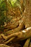 Árbol de Ombu Imagen de archivo
