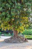 Árbol de Ombus (Phytolacca Dioca) Foto de archivo libre de regalías