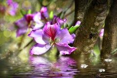 Bauhinia de la flor y simulación del agua Imagen de archivo libre de regalías