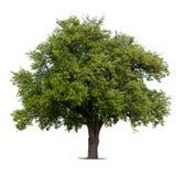 Árbol de pera Imágenes de archivo libres de regalías