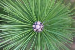 Árbol de pino en bloob Imagenes de archivo