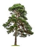 Árbol de pino grande en un fondo blanco Imágenes de archivo libres de regalías