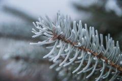 Árbol de pino helado Foto de archivo