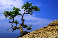 Árbol de pino solo Imagen de archivo libre de regalías