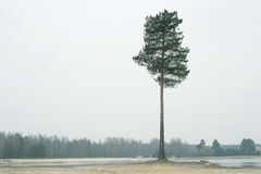 Árbol de pino solo Foto de archivo