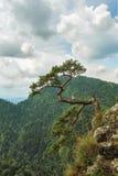 Árbol de pino solo en la montaña Imagen de archivo libre de regalías