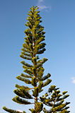 Árbol de pino y cielo azul Imágenes de archivo libres de regalías