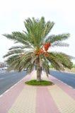 Árbol de Plam con las fechas en el centro del camino Fotografía de archivo libre de regalías