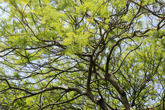Árbol de Poinciana Fotos de archivo