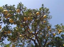 Árbol de pomelo Imagen de archivo libre de regalías