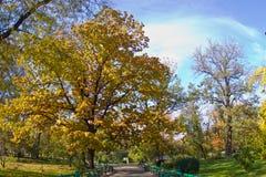Árbol de roble del otoño en un parque Fotos de archivo