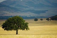 Árbol de roble, símbolo de la fuerza Fotos de archivo