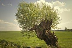 Árbol de sauce Foto de archivo libre de regalías