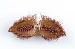 Árbol del achiote (orellana L. de Bixa). Imagen de archivo