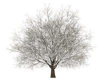Árbol del carpe del invierno aislado en blanco Foto de archivo