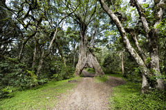 Árbol del Ficus con el agujero grande para el coche Fotografía de archivo